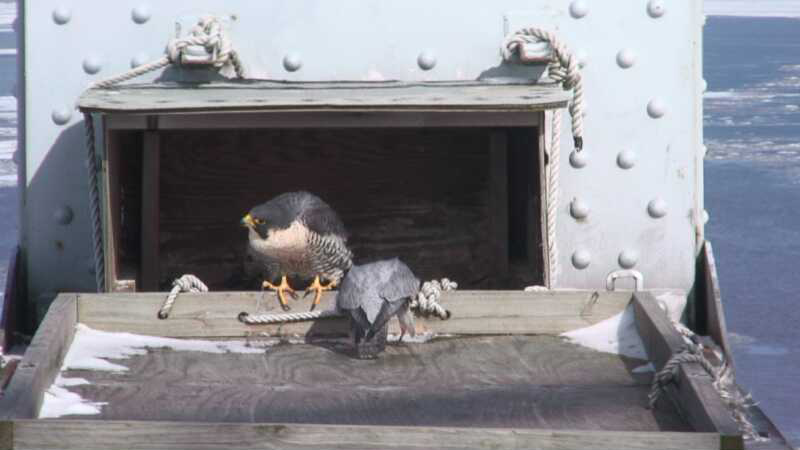 Falcons Swoop In See Tappan Zee Peregrines Live Via Webcam